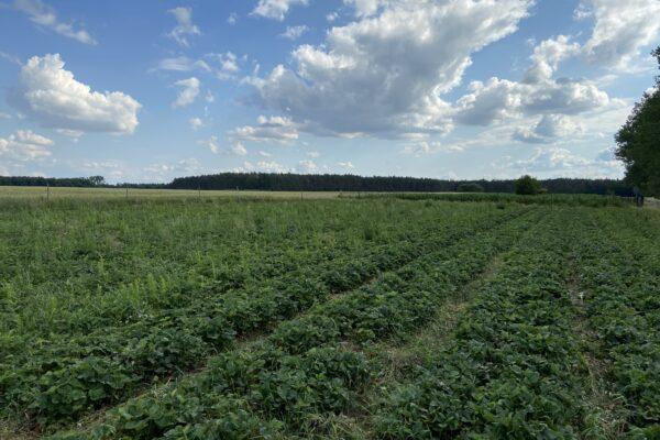 Planificación y establecimiento de plantaciones de fresas al aire libre – Producción integrada.