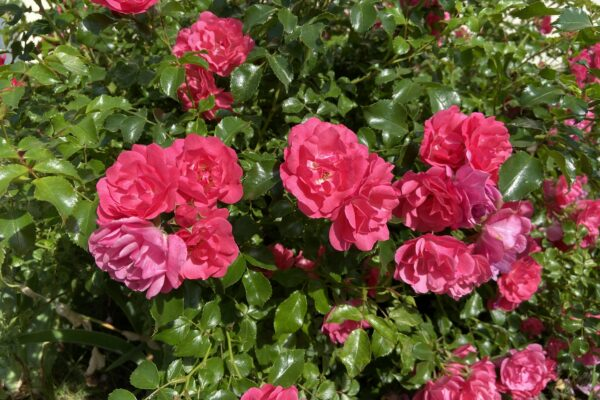 Zalecenia ogrodnicze na maj …
